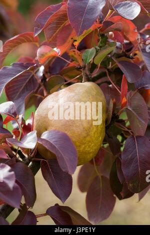 Pyrus communis Beurre Henri Courcelle. Pear en un árbol.