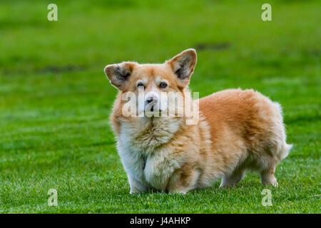 Pembroke Welsh Corgi, arrear ganado de raza de perro