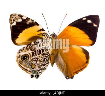 Esmirna Blomfildia butterfly como encontrados en el Perú, la izquierda es posterior, frontal derecho, combinados Foto de stock