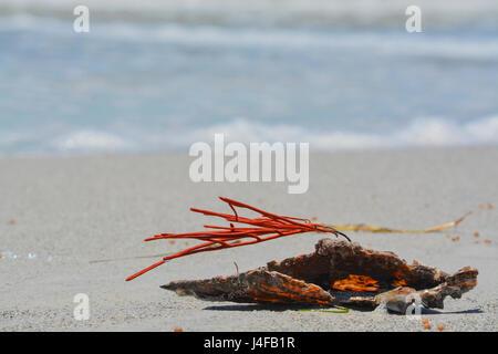 Mar de Coral naranja gorgonias látigo conectado a un shell de pluma se lavan en Indian Rocks Beach, el Golfo de México, Florida.