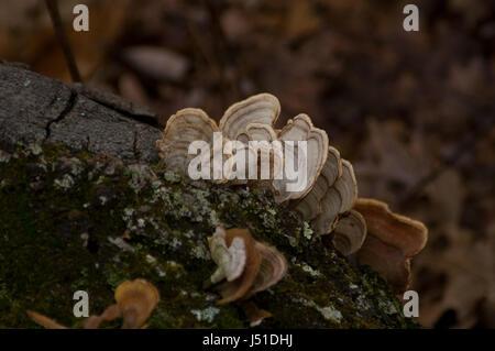 Turkey Tail Fungus (Trametes Versicolor) creciendo en un tronco de árbol donde está contribuyendo al ciclo de nutrientes.