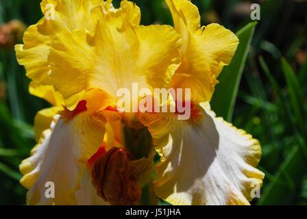 Una barba amarilla Iris