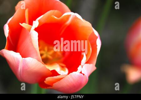 Los tulipanes. Cerca de mezclar diferentes colores multicolor tulipanes holandeses en un jardín de Austria, Salzburgo. Foto de stock