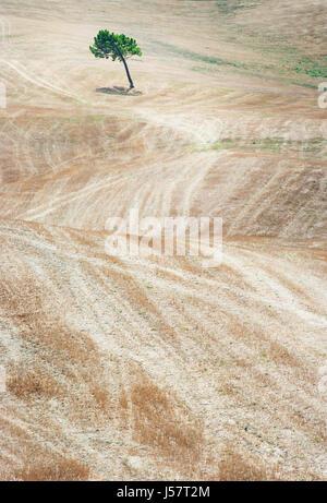 Árbol en el campo de la Toscana, Italia Foto de stock