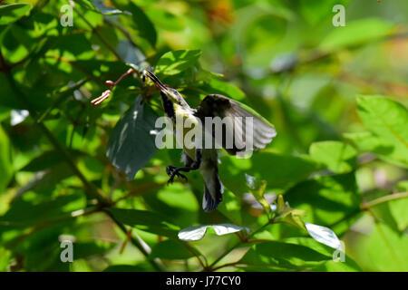Dhaka, Bangladesh. 23 Mayo, 2017. Un Púrpura Sunbird bebe el néctar de las flores en el Ramana park en Dhaka, Bangladesh, 23 de mayo de 2017. El Purple sunbird (Cinnyris asiaticus) es una pequeña sunbird. Al igual que otros sunbirds se alimentan principalmente de néctar, aunque tendrán también los insectos, especialmente cuando se alimentan los jóvenes. Tienen un vuelo directo y rápido y puede tomar néctar por flotando como un colibrí, pero a menudo la perca en la base de las flores. Crédito: SK Hasan Ali/Alamy Live News