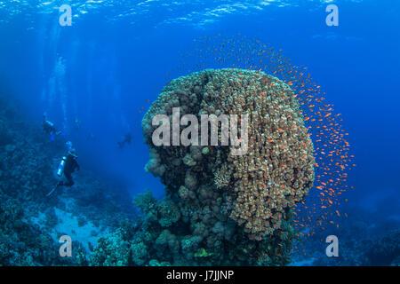 Scuba Diver relojes coloridos peces forma halo alrededor de coral como compañero domo buzos explorar arrecifes agua azul de fondo. Mar Rojo, Egipto