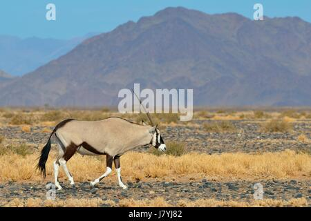 Macho Gemsbok (Oryx gazella) caminar, Parque Nacional Namib-Naukluft, Namibia, África