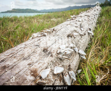 Cuello de cisne percebes pegados a un pedazo de driftwood que lavaba en la orilla cerca de la playa Kailua, en la isla de Oahu, Hawaii.