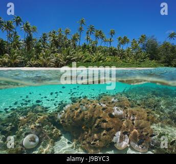 Costa Tropical por encima y por debajo de la superficie del agua con cocoteros y muchas anémonas de mar con peces bajo el agua, Huahine, Océano Pacífico, en la Polinesia Francesa