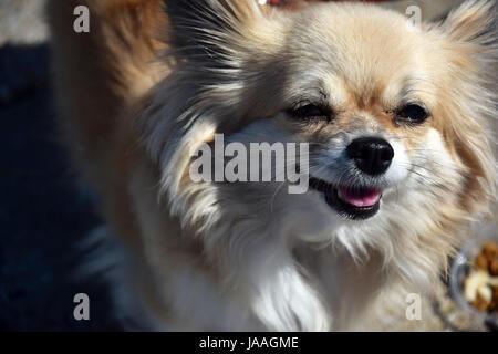 Una pequeña, joven, bella, chocolate y crema, marrón, recubierto de larga data de Chihuahua y sonriente Foto de stock