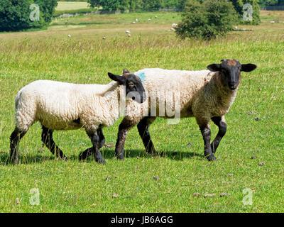 Dos Corderos Ovinos Suffolk caminar. De izquierda a derecha, en una pradera.