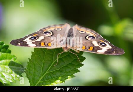 Buckeye común mariposa sentada sobre una hoja