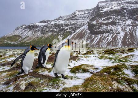 Pingüinos rey en la isla Georgia del Sur