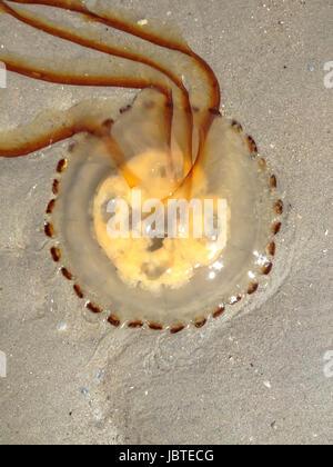 Gestrandete Kompassqualle, Chrysaora hyoscella / Desamparados, Medusa Chrysaora hyoscella brújula