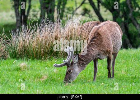 Ciervo rojo (Cervus elaphus) con cuernos de ciervo cubierto de terciopelo que pastan en los prados en la lluvia en las Highlands escocesas en primavera, Scotland, Reino Unido