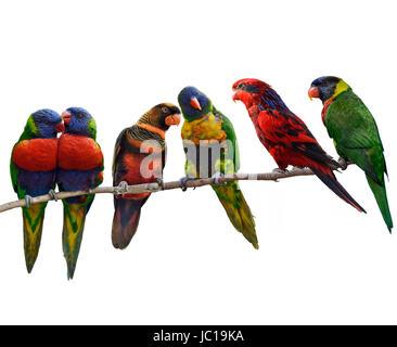 Los loros coloridos(Rainbow Lorikeet), donde se posan ,aislado sobre fondo blanco.
