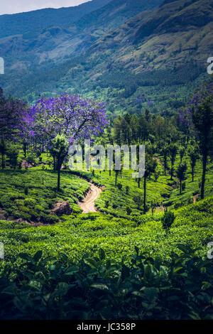 Plantaciones de Té en Munnar, India