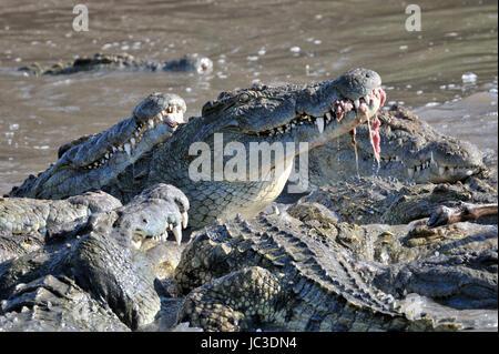 Los cocodrilos del Nilo (Crocodylus niloticus) de comer, río Grumeti, Parque Nacional del Serengeti, Tanzania.