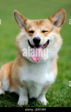 Cerrar Welsh Corgi perro verde césped de verano