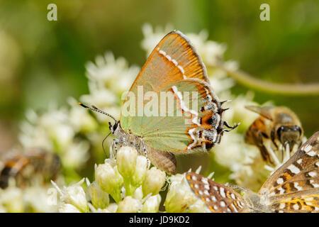 Juniper Hairstreak Callophrys gryneus Montañas Santa Rita, Arizona, Estados Unidos de América el 3 de septiembre de adulto en filtrarse Sauce (Baccharis salicifolia).