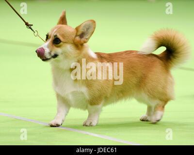 Welsh Corgi Pembroke en un dogshow