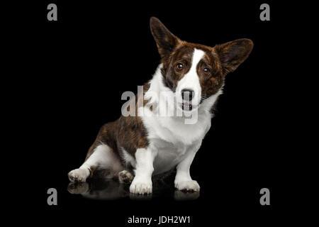Welsh Corgi Cardigan perro aislado sobre fondo negro