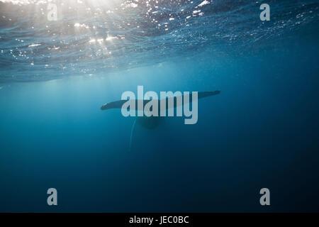 Fluke, la ballena jorobada, Megaptera novaeangliae, Península de Samaná, República Dominicana