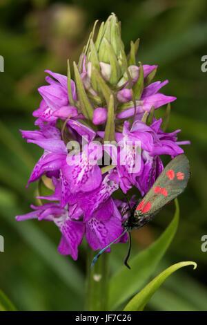 6-spot Burnett (Zygaena filipendulae) en una pronta Marsh Orchid (Dactylorhiza incarnata) flor