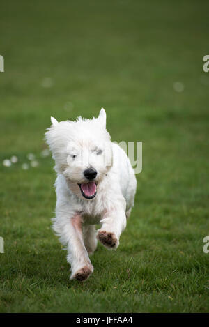 Westie West Highland Terrier ejecutando Foto de stock
