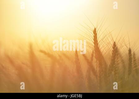 Campo de trigo. Espigas de trigo de oro cerca. La naturaleza hermosa puesta de sol paisaje paisaje rural bajo la luz solar brillante. antecedentes de maduración oídos de mí