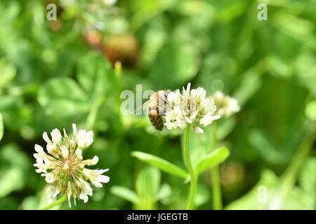 La abeja polinates macro de la flor