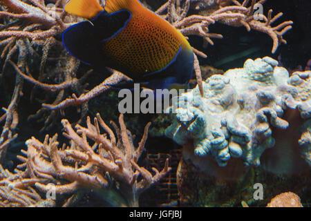 Filmación subacuática, en un acuario con peces y corales anémona de mar.