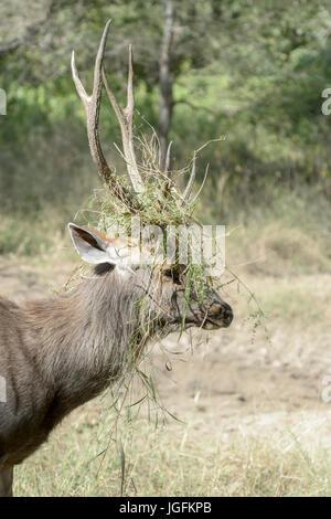 Ciervos Sambar (Rusa unicolor, Cervus unicolor), retrato de ciervo con hierba entre las astas durante la rutina, el parque nacional Ranthambhore, Rajasthan, India.
