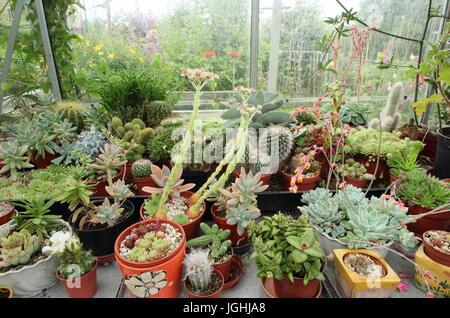 Una colección de cactus y suculentas crecen en una cálida y soleada alféizar de la ventana en un invernadero interno en un jardín inglés, REINO UNIDO