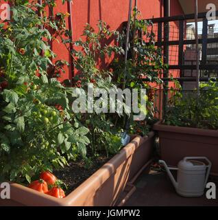 El Cultivo Del Tomate En Los Jarrones De Un Huerto Urbano En