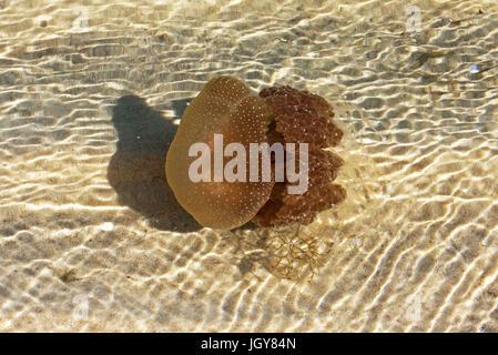 Un australiano manchado (Phyllorhiza punctata) de medusas en las aguas poco profundas del río Swan cerca de Perth, en el oeste de Australia.