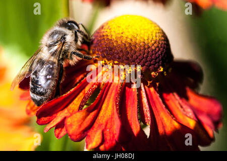 Miel abeja en flor cerca de Helenium 'Flammenrad', Apis mellifera europea polinización Helens flor, recogida de néctar alimentación
