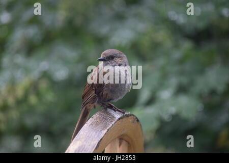 Bien encaramado sparrow