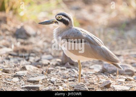Gran grueso-knee (Esacus recurvirostris) de pie en el suelo, el parque nacional Ranthambhore, Rajasthan, India Foto de stock