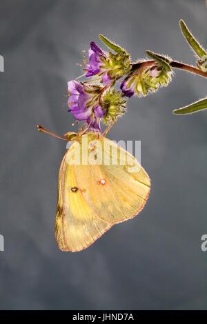 Una nublado azufre, Colias philodice eriphyle mariposas, en un wildflower.