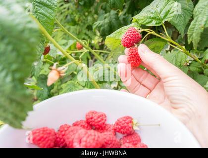 Frambuesas recogida en el jardín pov - mano femenina y el tazón Foto de stock