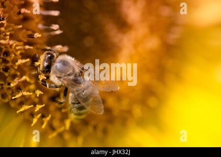 Cerca de abeja en girasol; abeja en un girasol, recogiendo polen de abejas; y girasol