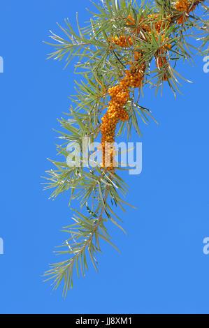 Sanddorn Gemeiner, Ast mit Beeren, Nordrhein-Westfalen, Alemania / (Hippophae rhamnoides) | Espino cerval de mar, rama con bayas, Renania del Norte-Westpha