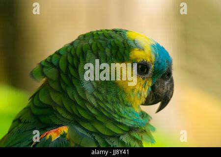 Cerrar macro retrato de un loro. Azul, amarillo y verde de plumas. Rainbow Lorikeet