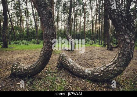 Llamado Crooked Forest (Polaco: Krzywy Las) con curiosamente con forma de pinos cerca de Nowe Czarnowo pequeña aldea en Pomerania Occidental voivodato de Polonia