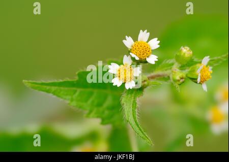Galinsoga peludo, Renania del Norte-Westfalia, Alemania / (Galinsoga ciliata, Galinsoga quadriradiata)