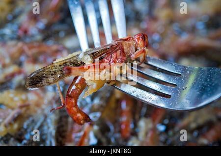 Praga, República Checa. El 22 de julio, 2017. El parque zoológico de Praga prepara platos de insectos inusuales para visitantes en el día de los insectívoros en Praga, República Checa, 22 de julio de 2017. En la foto de la langosta migratoria, Locusta migratoria. Crédito: Vit Simanek/CTK Foto/Alamy Live News