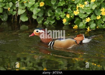 Un impresionante macho de Pato mandarín (Aix galericulata) nadando en un arroyo con un fondo de flores de celidonia.