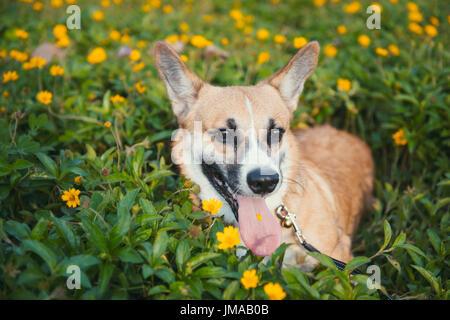 Pembroke Welsh Corgi cachorro sentado en flores