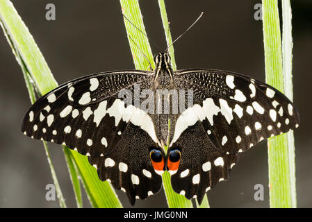 El Citrus especie butterfly Foto de stock